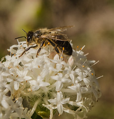 Bee on Pimelea (m&em2009) Tags: bee pimelea insect nature flower pollen