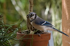 Found What He Was Looking For (ACEZandEIGHTZ) Tags: bluejay cyanocitta cristata nikon d3200 birdwatcher backyard flowerpot patio coth5 coth saariysqualitypictures
