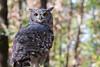 Owl (lucadimarzo) Tags: canon 55250 owl italy bird
