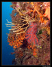 Corail rouge (Corallium rubrum), Eunicella cavolinii, Pentapora fascialis (cquintin) Tags: cnidaria anthozoa alcyonaria gorgonacea coralliidae corallium rubrum gorgoniidae eunicella cavolinii bryozoans bryozoaires corail bryozoa gymnolaemata cheilostomatida bitectiporidae pentapora fascialis
