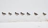 Walk on ice. (HIromi Kano) Tags: kurihara miyagi japan pintail eaafp ramsarconvention lake nature wildbird wildlife animal 日本 伊豆沼 宮城県 栗原市 登米市 野鳥 オナガガモ 自然