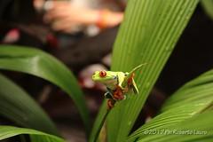 Raganella dagli occhi rossi (Roberto Lauro) Tags: natura nature costarica foresta forest frog rana canon raganelladagliocchirossi animali animal