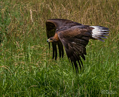 Golden Eagle (Aquila chrysaetos) (Don Dunning) Tags: animals bird birds britishcolumbia canada canadianprovince eagle goldeneagle northcowichan raptor raptorcentre vancouverisland