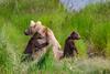Sow Cubs 9162 (blackhawk32) Tags: alaska bears brooksfalls canon katmai katmainationalpark northamericanbrownbear cubs grizzlybear sow 7dwf