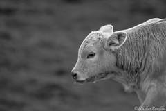 Veau - Veal (Nicolas Rouffiac) Tags: animal animals animaux nature veau veal cow vache bw nb portrait cute mignon