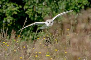 JWL0582  Barn Owl..