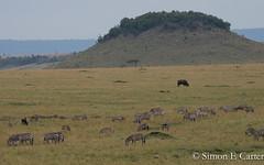 Zebra (Simon Carter (Nairobi)) Tags: buffalo capebuffalo kenya maasaimara mammals masaimara wildlife antelope landscape wildebeest zebra