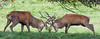 Rutting Season (mikedenton19) Tags: red deer cervus elaphus mammal studley royal rutting season fountainsabbey fountains abbey nationaltrust national trust park yorkshire wildlife antler stag male uk british cervuselaphus rut ruttingseason studleyroyal