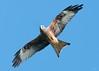 Red kite (Shane Jones) Tags: redkite raptor bird birdinflight birdofprey nature wildlife nikon d500 200400vr tc14eii