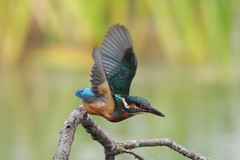 IMGP6094c Kingfisher, Lackford Lakes, September 2017 (bobchappell55) Tags: wild bird wildlife nature kingfisher lackfordlakes suffolk alcedo atthis