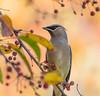 Happy as a Wax Wing. (Omygodtom) Tags: wild wildlife bird cederwaxwing migrate natural nikkor 7dwf nikon70300mmvrlens vr d7100 dof bokeh detail contrast usgs urbunnature
