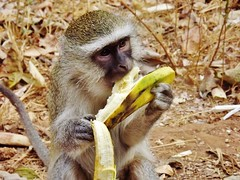 "Vervet Monkey • <a style=""font-size:0.8em;"" href=""http://www.flickr.com/photos/152934089@N02/37356318630/"" target=""_blank"">View on Flickr</a>"