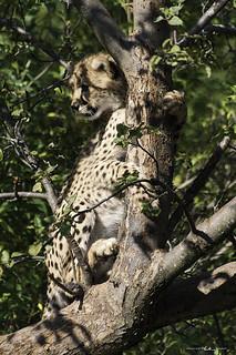 Cheetah Cub - Toronto Zoo