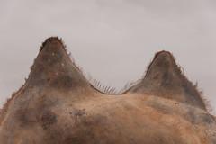1706_mbe_mongolia_ömnögov_tsogt ovoo_019 (Marcel Berendsen - The Netherlands) Tags: asia asian azie camelusbactrianus mongolia mongolian mongolië travel tsogtovoo world agrarisch agricultural agriculture bactraincamel camel camels caprine countrified desert farming gobi gobidesert kameel kamelen landelijke landscape landschap rural rustic scenery scenic travelphotography woestijn ömnögov