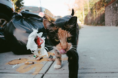 Feral calico cat after a meal (instagram.com/lanolan) Tags: animals cat color day fujifilmx70 jamaicaqueens newyork newyorkcity newyorknewyork ny nyc outdoors outside queens streetphotography thebigapple