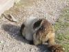 Nice Marmot (skjoiner) Tags: vacation2017 montana glaciernationalpark nationalparks loganpass marmots