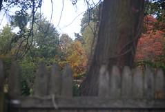 DSC07049 (Old Lenses New Camera) Tags: sony a7r kodak ektar anastigmatektar bantamspecial 45mm f2 plants garden autumn tree leaves branches fence wood texture