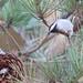 Wildcat Canyon Chicadee-4843