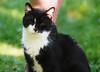 Prinz Felix (arjuna_zbycho) Tags: felix blackcat tuxedo tuxedocat kater hauskatze cat animal cute animals pets gato kitten feline kitty kittens pet tier haustier katzen gattini gatto chat cats