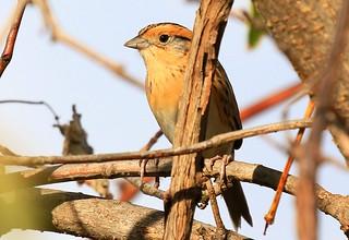 Nelson's sparrow at Chipera Prairie IA 854A0096