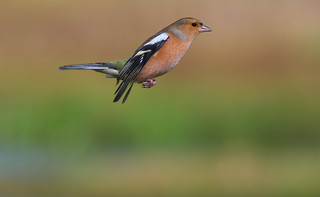 Hovering Chaffinch