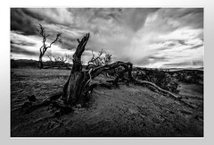 Twisted tree in Death Valley (ronnymariano) Tags: wood sand landscape deadtree plants nature flower weather deathvalley clouds trees twisted 2017 dawn infrared sunrise outdoors morning monochrome sky desert ir blackandwhite tree bnw stovepipewells california unitedstates us