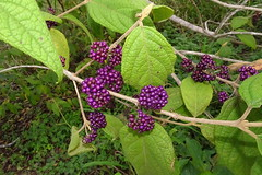 Beauty berry / Velvet Leaf (Callicarpa pedunculata) (Tatters ✾) Tags: australia berries fruiting purple arffs arfp callicarpapedunculata callicarpa lamiaceae qrfp westlake purplearffs subtropicalarf nswrfp