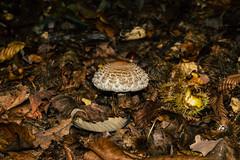 Champignon (Meculda) Tags: nikon d7200 sigma 105mm macro automne autumn france forêt extérieur tree champignon châtaigne