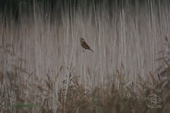 Reed Bunting ♀
