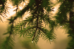 Pine Tree in the Rain by Robert Geary (Maryland DNR) Tags: 2017 photocontest flora needles pinetree droplet macro