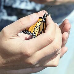 MonarchRelease_4962sq3 (JKehoe_Photos) Tags: monarchbutterfly danausplexippus ulistacnaturalarea unarep santaclaracounty outdoors johnjkehoephotography
