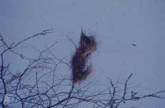Sparrow weavers nests in Acacia. Ndutu