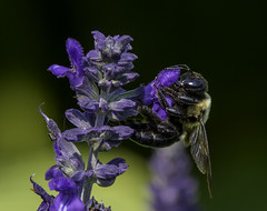 Bee_SAF3402 (sara97) Tags: bee closeup copyright©2017saraannefinke endangered flyinginsect insect missouri nature photobysaraannefinke pollinator saintlouis towergrovepark midwest