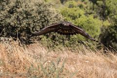 Aguila aterrizando (barragan1941) Tags: adamuz aguilareal aves avesenvuelo fauna rapaces