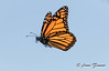 fly away... (Anne Marie Fraser) Tags: sky butterfly fly flying flutter fluttering monarchbutterfly monarch nature summer summertime flight blue wild free
