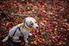 Just Autumn (moaan) Tags: sigma50mmf14dghsm kobe hyogo japan jp dog jackrussellterrier kinoko autumn fall autumncolors fallcolors autumnleaves fallenleaves dof bokeh bokehphotography utata 2017 canoneos5dsr 50mm f14