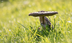 The parasol mushroom (VandenBerge Photography) Tags: macrolepiotaprocera lepiotaprocera mushroom canonef70200mmf4lisusm canon eos eos80d focus autumn season field green