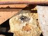 Mr Jumperverse of the Day (tessab101) Tags: spider arachnid arachnids arthropods kuringgai wildflower gardens north sydney nsw australia salticid salticidae jumping saitis virgatus
