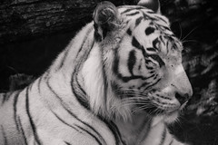 Tiger. (giulianardone) Tags: tigre bianca tiger whit white blackandwhite black bw animals animali zoo bioparcodiroma roma nikon nikon3300 18 200mm rome cat africa eyes like