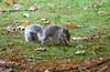 squirrel_2 (odysseus62) Tags: cameronhouse argyll scotland october 2017 autumn lochlomond duckbay