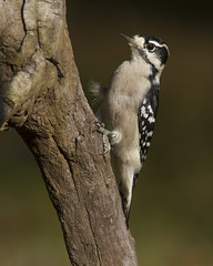 Downy Woodpecker, female (AllHarts) Tags: femaledownywoodpecker backyardbirds memphistn naturescarousel ngc npc