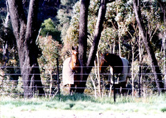 Horses Mares Forest1 (55pmh) Tags: collection 1988 1999 by paul maresforest wombeyancaves maresforestroad 35mm film retro old richlands taralga 1989 1990 1991 1992 1993 1994 1995 1996 1997 1998 maresforestnationalpark ashwood horses oldphoto horse