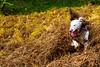 Rupert making his on path ! (TrevKerr) Tags: dog d3s nikon nikon50mmf18 englishspringerspaniel spaniel pup