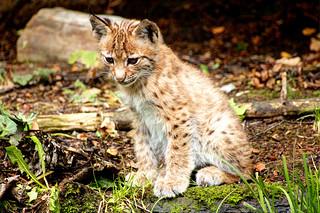 Luchsjunges - Lynx Cub