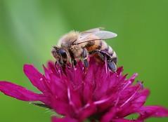 Bee (LuckyMeyer) Tags: biene garden summer bee busy insect makro insekt flower fleur green violett pink