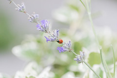 ladybug (Camy487) Tags: ladybug lavender animal themes animals wild beauty nature bee blooming botany closeup day flower head focus foreground fragility freshness growth insect insects no people one outdoors petal plant pollination tree
