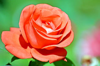 Rose, Opera