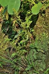 Habenaria iyoensis 岩坡玉鳳蘭