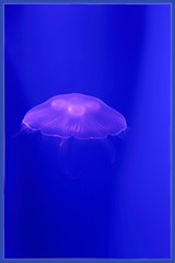 Moon Jellyfish (Note-ables by Lynn) Tags: underwater marinelife ripleysaquariumofcanada jellyfish moonjellyfish