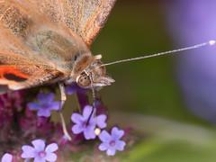 Painted Lady (Martin Dollenkamp) Tags: vancouverisland butterfly vanessacardui paintedlady wildlife garden nikon200f4micro